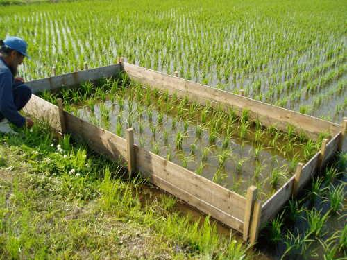 一坪は人が一日に食べる米を生産できる土地の広さです。